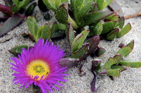 Ice_plant_on_california_coast
